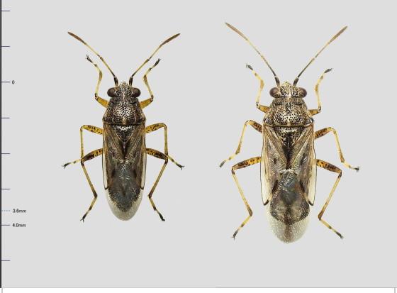 マダラナガカメムシ科Nysius属の一種