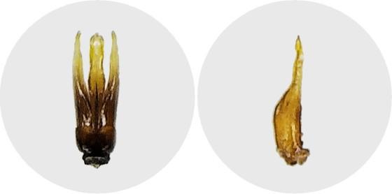 コモンシジミガムシ?の交尾器