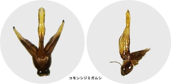 コモンシジミガムシの交尾器