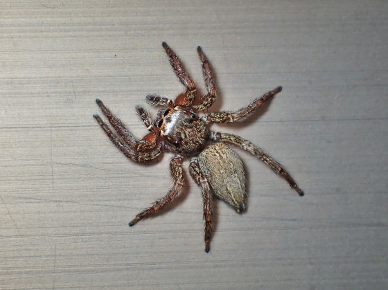 ハエトリグモの一種