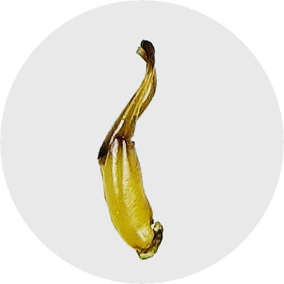 オオトゲバゴマフガムシ♂交尾器