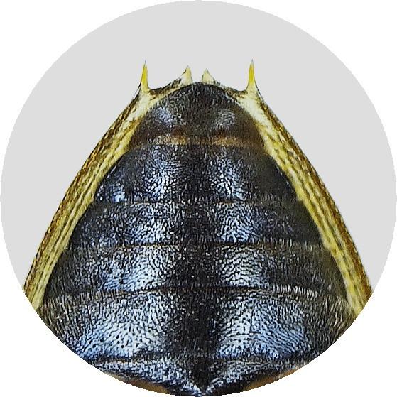 オオトゲバゴマフガムシ♂第5復節