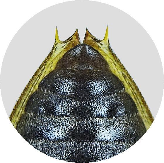 オオトゲバゴマフガムシ♀第5復節