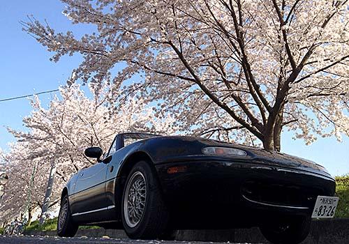 ロードスターと桜