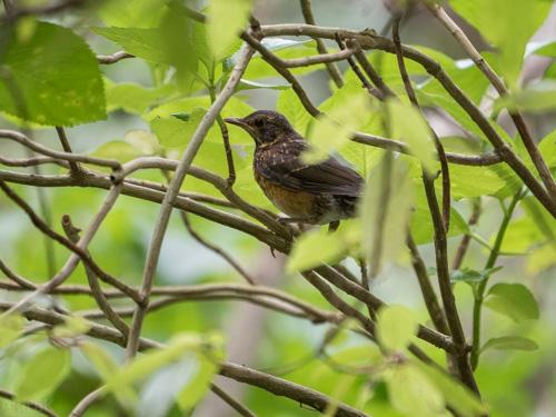 アカコッコ幼鳥