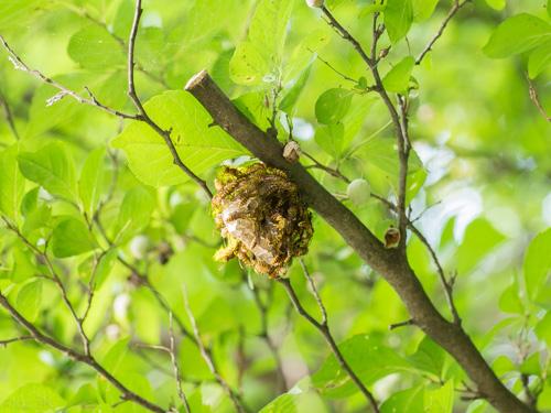 ホソアシナガバチ