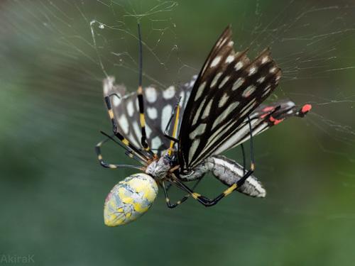 ジョロウグモとアカボシゴマダラ