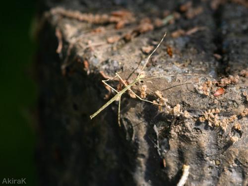 ナナフシの幼虫