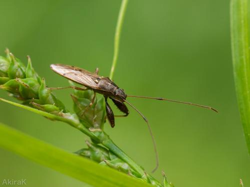 ヒゲナガカメムシ