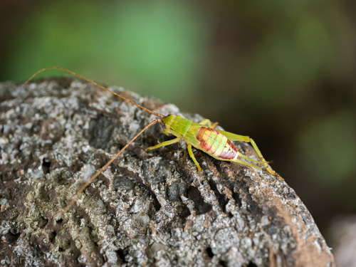アオマツムシの幼虫