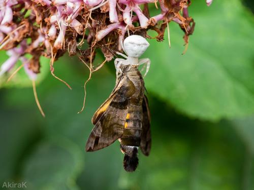 アヅチグモ