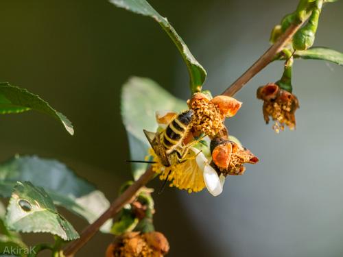 ハラナガツチバチ