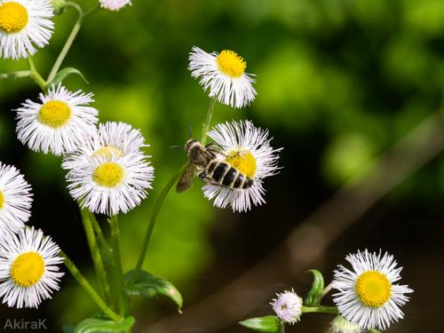 ヒメハラナガツチバチ