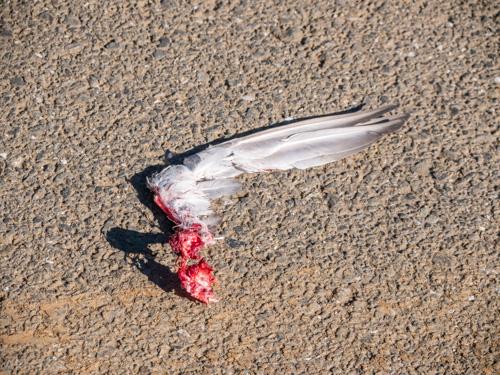 ハトの残骸