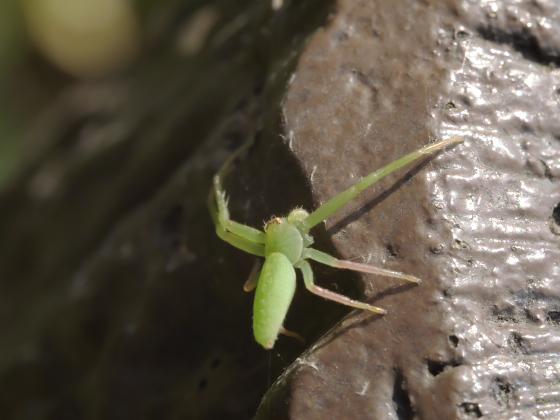 ワカバグモ