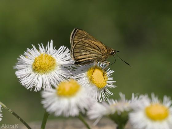 コチャバネセセリ
