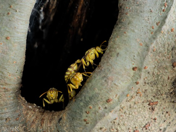 ムモンホソアシナガバチ