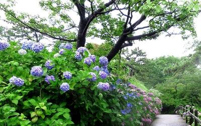 紫陽花ラン01