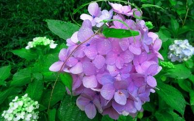 紫陽花ラン02