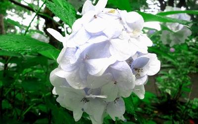 紫陽花ラン03