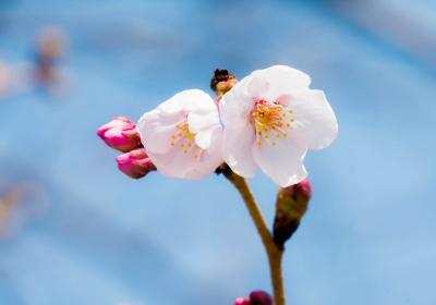桜、咲いたぞー♪