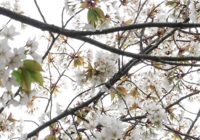 桜を求めて ラン