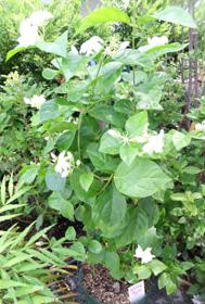 アラビアンジャスミン鉢植え