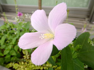 ロバツスの花