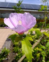ブルーサテンの花