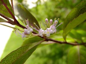 6月27日撮影コムラサキシキブの花