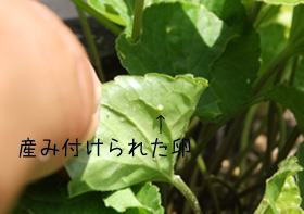 うみつけられた卵