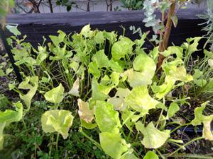 喰われた葉