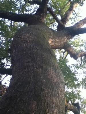 うねるような幹の力強さに目を見張る