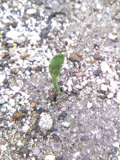 091121_庭花壇のエンドウの芽.jpg