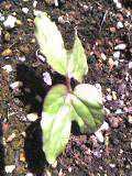 100515_アサガオの芽が出たよ.jpg