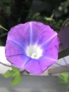 100824_ベランダの朝顔の花.jpg