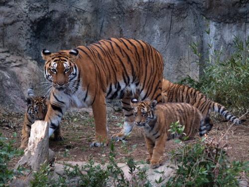 とべ動物園のトラ親子