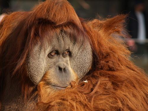 とべ動物園のオランウータン