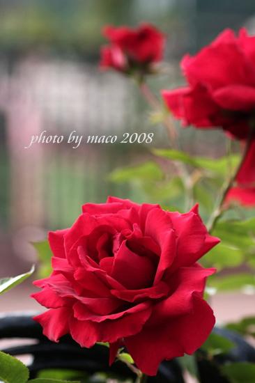 薔薇 レッド