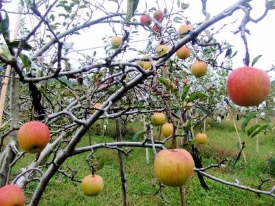 大塚りんご園のりんご