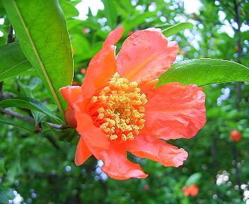 ザクロの花(「季節の花 300」より)