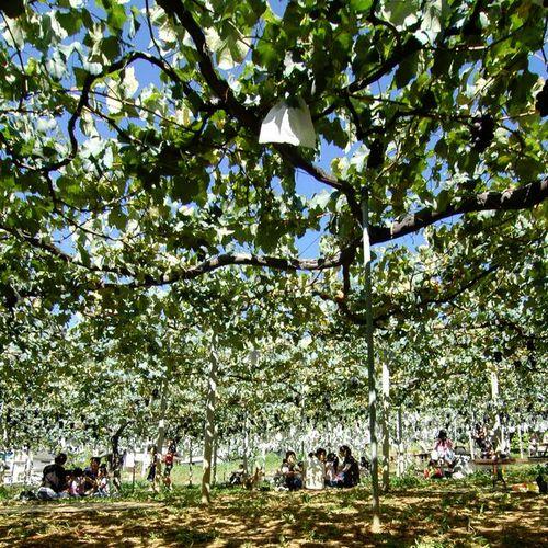 2015年平成27年山梨のおすすめ、穴場ぶどう狩り食べ放題ができる人気農