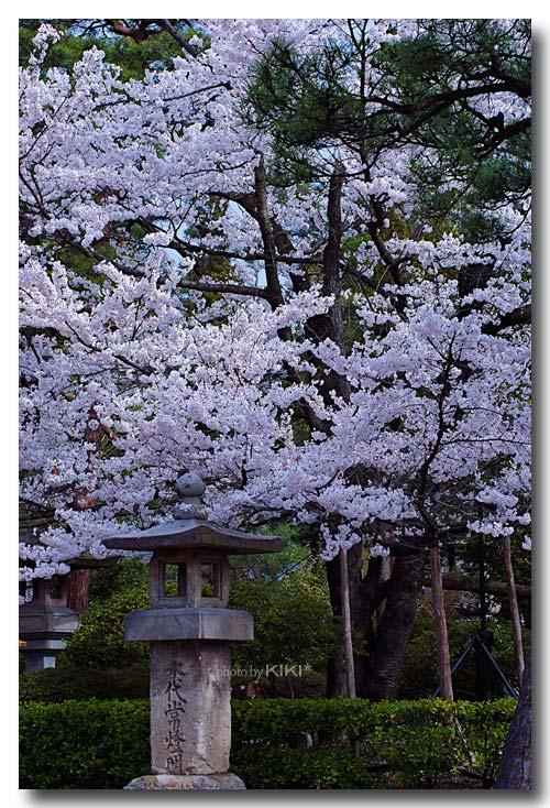 善光寺-桜2