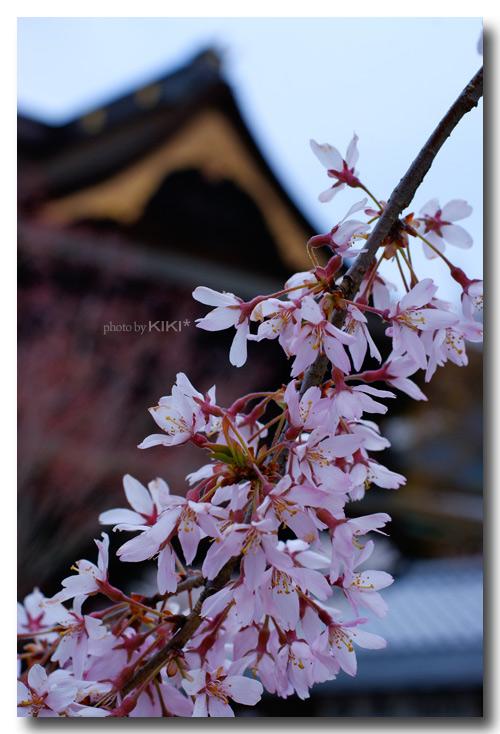 善光寺-桜1