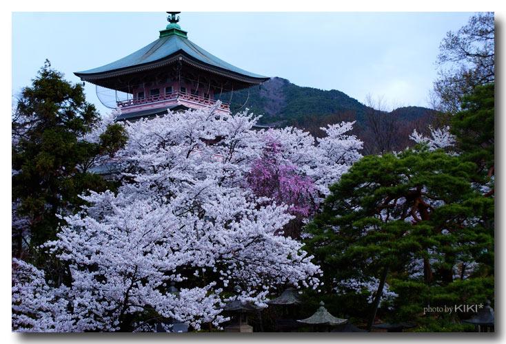 善光寺-桜3