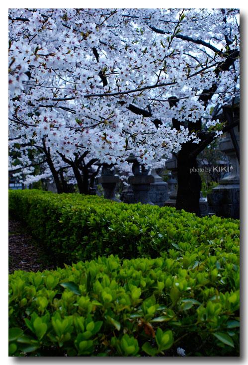 善光寺-桜4