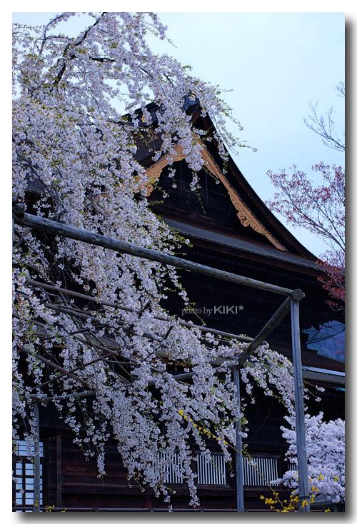 善光寺桜5
