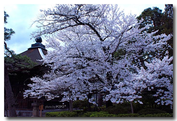 善光寺桜6