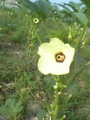 おくらの花