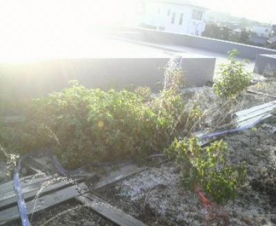 初秋の屋上菜園緑化 かるいちばんシステム
